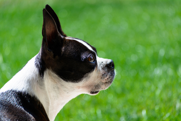 Boston Terrier Side Pose Outside