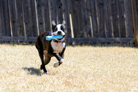 Boston Terrier Playing Fetch Outside