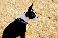 Boston Terrier Outside on the Grass